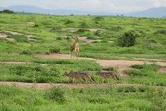 Jackal wild dangerous mammal africa savannah Kenya Royalty Free Stock Photography