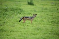 Jackal wild dangerous mammal africa savannah Kenya Stock Photography