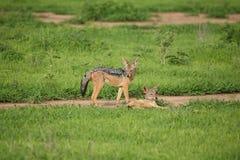Jackal wild dangerous mammal africa savannah Kenya Royalty Free Stock Photos