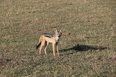 Jackal in the wild Royalty Free Stock Images