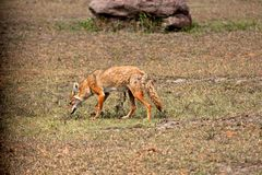 Jackal in the wild Stock Images