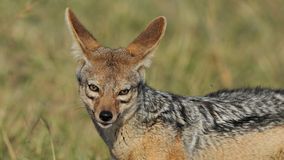 Jackal in the wild. Tanzania national parks Royalty Free Stock Photos