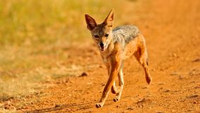 Jackal in the wild royalty free stock image