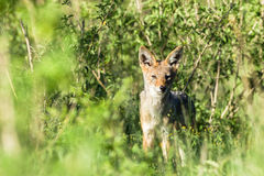 Jackal Wildlife Animal Royalty Free Stock Photos