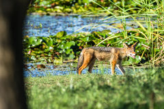 Jackal Wildlife Animal Royalty Free Stock Photo