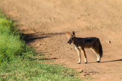 Jackal Wildlife Animal Stock Photos