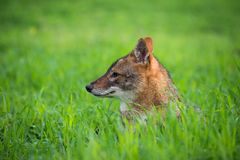 Jackal in the woods. Black backed jackal lies on the grass the middle of national park of Israel Royalty Free Stock Photos