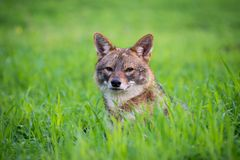 Jackal in the woods. Black backed jackal lies on the grass staring towards the camera in the middle of national park of Israel Royalty Free Stock Image