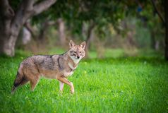 Jackal in the woods. Black backed jackal staring towards the camera in the middle of national park of Israel Royalty Free Stock Image