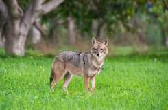 Jackal in the woods. Black backed jackal staring towards the camera in the middle of national park of Israel Stock Photo