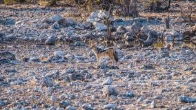 Jackal. Zebras in the Etosha National Park, Namibia Royalty Free Stock Photography