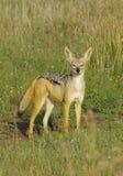 jackalen plattar till serengetien tanzania Arkivbild