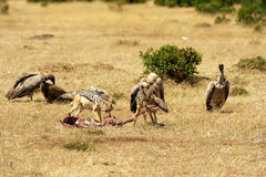 Jackals и хищники Mara Masai Стоковые Фото