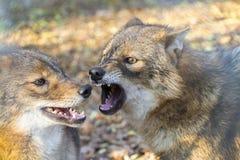 Золотые jackals (волк aureus) Стоковое Изображение