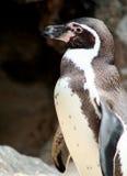 близкий пингвин jackass вверх Стоковые Фото