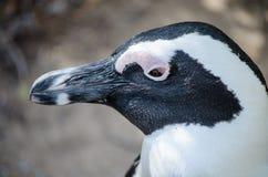 jackass afrykański pingwin Fotografia Royalty Free