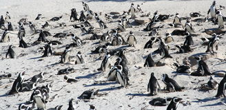 Colony. Large colony of penguins on a white sand beach stock image
