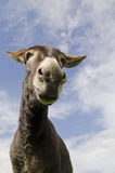 Jackass or Donkey Stock Images