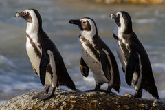 Jackass Penguin στο τρέξιμο, Καίηπ Τάουν, Νότια Αφρική Στοκ φωτογραφία με δικαίωμα ελεύθερης χρήσης