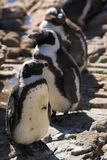 Jackass Penguin #1. Jackass Penguins (Spheniscus demersus) from Stoney Point, Western Cape, South Africa Stock Image