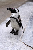 Jackass Penguin Royalty Free Stock Photo