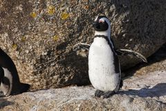 Jackass Penguin #24 Stock Images