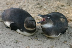 Penguin. Two young penguins stock images