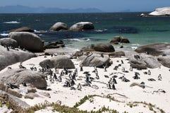 Jackass penguin Stock Photo