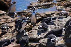 Jackass Penguin #9. Jackass Penguins (Spheniscus demersus) from Stoney Point, Western Cape, South Africa Stock Images