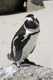Jackass Penguin. Jackass or African Penguin (Spheniscus demersus) at Boulder's Beach. South Africa Stock Photo