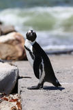 Jackass Penguin Stock Photo
