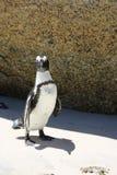 Jackass Penguin Royalty Free Stock Photo