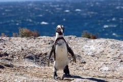Jackass Penguin Stock Photos