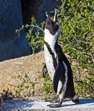 Jackass Penguin calling. Black and white Jackass Penguin calling at Boulders Beach, South Africa Royalty Free Stock Image