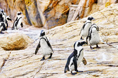 Jackass Penguin. Royalty Free Stock Photo
