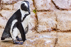Jackass Penguin. Royalty Free Stock Images