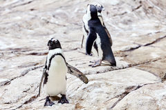 Jackass Penguin. Royalty Free Stock Image