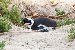 A Jackass penguin laying down in it`s nest. On the sand dunes breeding Stock Image