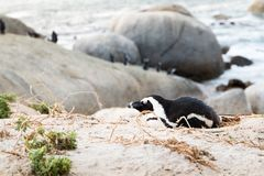 A Jackass penguin laying down in it`s nest on the sand dunes. With penguins in the background standing on the boulders Stock Images