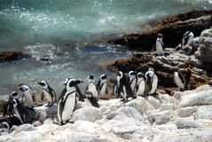 Jackass Penguin Nature Reserve. Betty's Bay. Western Cape, South Africa. Betty's Bay (Afrikaans: Bettysbaai) is a small holiday town situated on the Overberg Royalty Free Stock Photos