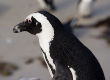 Jackass penguin at a penguin colony. Profile of a jackass penguin Stock Photo