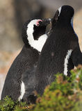 Jackass Penguin. S (Spheniscus demersus) from the Simons Town Colony, Western Cape, South Africa Royalty Free Stock Photo
