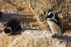 Jackass Penguin Stock Images