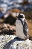 Jackass Penguin on the rocks Royalty Free Stock Image