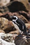 Jackass Penguin on the rocks Royalty Free Stock Images