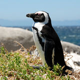 Jackass Penguin, (Spheniscus demersus,) Stock Photos