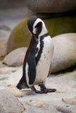 Jackass penguin standing Royalty Free Stock Photo