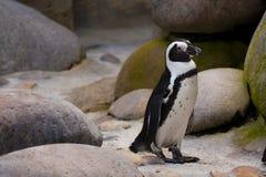 Jackass penguin standing Stock Photo
