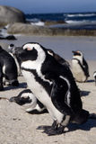 Jackass Penguin Royalty Free Stock Images
