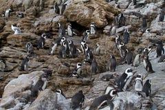Jackass Penguins, κόλπος της Betty ` s, Νότια Αφρική στοκ φωτογραφία